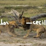 Heartbreaking news — #CecilTheLions brother has been killed http://t.co/MTV1XKUkXH http://t.co/7zwQcepO00