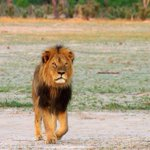 Zimbabwean wildlife authorities have suspended the hunting of lions, leopards and elephants. http://t.co/vdfJicSZ6b http://t.co/7mXoXpKEmd