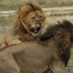 UPDATE: Researchers tracking Cecil the Lions pride say his brother has NOT been shot: http://t.co/NIqdPRAcvM http://t.co/QgwQzfnEhl