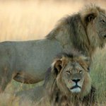 """Update: Field researcher says Jericho the Lion """"looks alive & well to me as far as I can tell"""" http://t.co/80m4DQCPzA http://t.co/gUbf8tVdLg"""