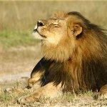 Desmienten que hermano de león Cecil haya muerto http://t.co/oT8x7J5Ome http://t.co/7TCKmiTWNt