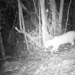 #LoMásLeído en Bogotá: Así encontraron al tigrillo lanudo en Bogotá http://t.co/JGRLVlRoWf http://t.co/62YREI75n9
