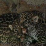 Trillizos de jaguares son la sensación en el zoológico de Nobsa, Boyacá http://t.co/gbRN308Df6 http://t.co/VSyDNQmKMF