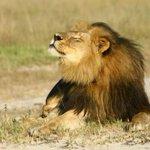 Otra triste noticia:Confirman muerte de hermano del león Cecil a manos de cazadores furtivos →http://t.co/Bs0Sj7Hd2F http://t.co/oQZpZLusUi