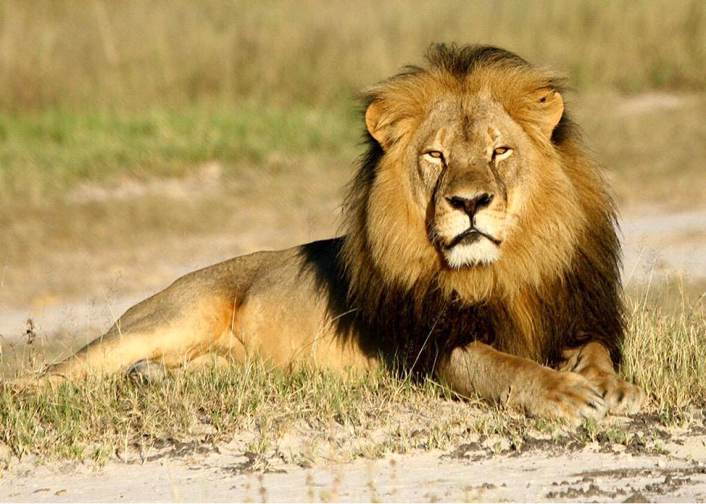 CECIL bill may end trophy hunting in USA, says @HumaneSociety https://t.co/1rsDYGl9YM http://t.co/JNEJAvrwza