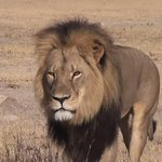 Cecil the lion cost $55,000 in the trophy hunting economy: http://t.co/W2jPOZNk9T http://t.co/CnnFfbk37k