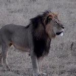 Cecil the lions brother Jericho is not dead: http://t.co/XAQDVhNdWn http://t.co/0IZEQQwNco