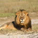 Zimbabwean baffled by U.S. concern for killed lion: honestly the attention is just too much http://t.co/oF5pn8eZVH http://t.co/DLqSmpsLix