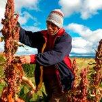 #Perú desplaza a #Bolivia como mayor productor de quinua en el mundo http://t.co/RPsz2TTFge http://t.co/x0vLu8vx6M