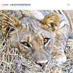 DANK @CanonNederland voor het kiezen van mijn foto!!! #leeuw #Instagram #Canon #Zambia http://t.co/9ogbZ9G6G2