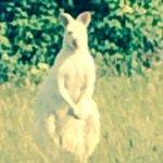 VIDEO: White kangaroo-like animal spotted in field near Northampton http://t.co/04aJR0Ddpi http://t.co/alU3kAU71M