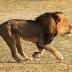 【New!】ジンバブエのライオン「セシル」殺害は正当化される?「狩猟許可料は貴重な収入源」 http://t.co/jpONlOabwH http://t.co/6ubSUiJ2k0