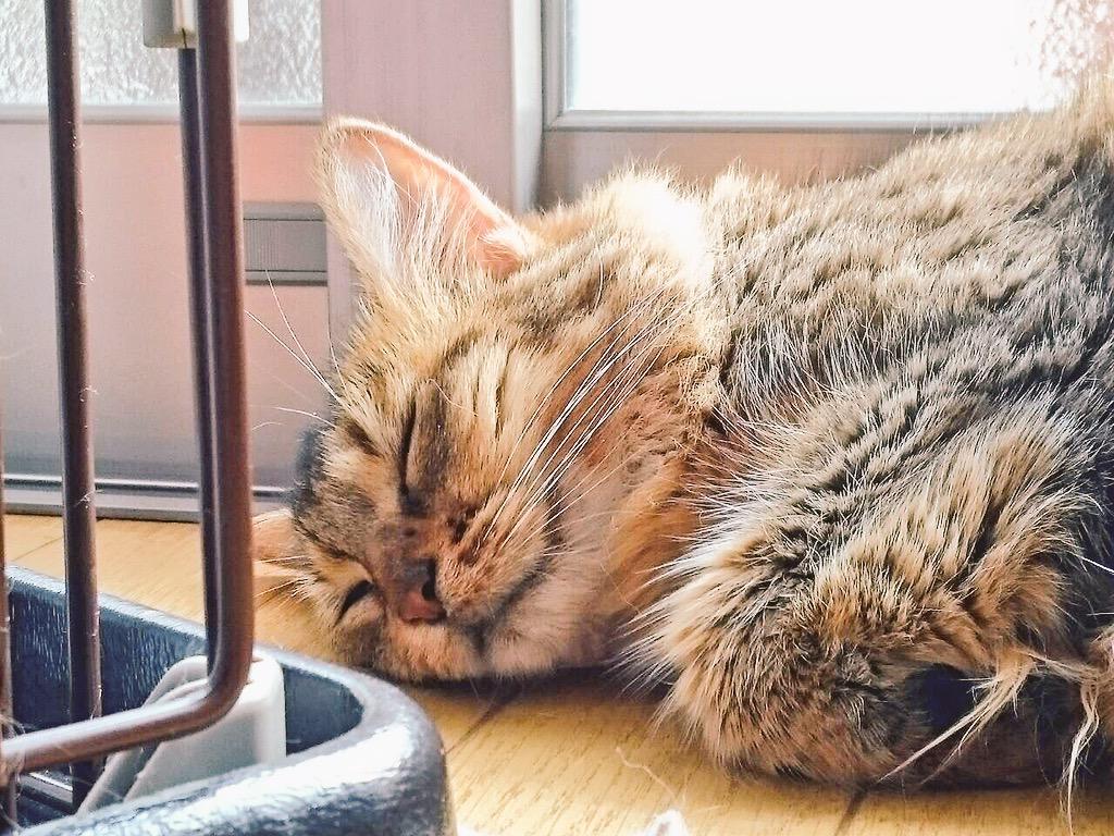親から送られてきた写真。 我が愛猫ながら実に可愛い。可愛すぎて悶えた。 http://t.co/0GJBhpBneQ