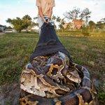 """""""ذاميرور"""":الإمساك بثعبان البورمي العملاق داخل الحديقة الوطنية بولاية فلوريدا في أمريكا طوله19قدم #منوعات #مصدرك_الأول http://t.co/khg242I4Ha"""
