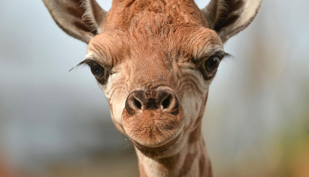 Moving around english rare baby giraffe takes first steps for Giraffe childcare fees