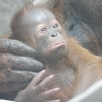 Look who's new at the zoo! The Toledo Zoo has announced the birth of Wakil, a male orangutan.  http://t.co/IS6r00ykNj http://t.co/G74Pt31MUr