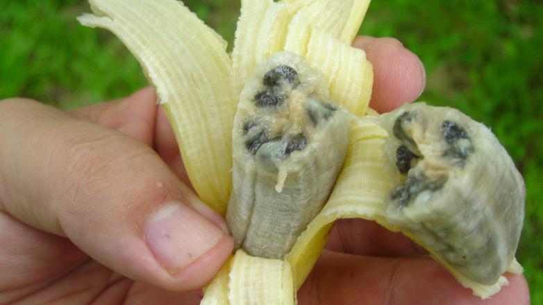 Los plátanos sabían a corcho con canicas hasta que fuimos seleccionando variedades más dulces y sin nada de semillas http://t.co/EefVZyaz19