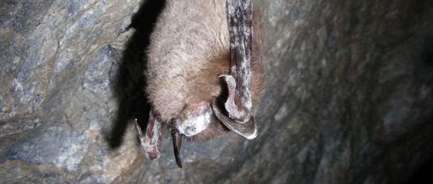 Researchers may have found a natural way to treat white-nose syndrome in #bats. http://t.co/ZSKqrBjyVs #tws #wildlife http://t.co/gFtu85qWda