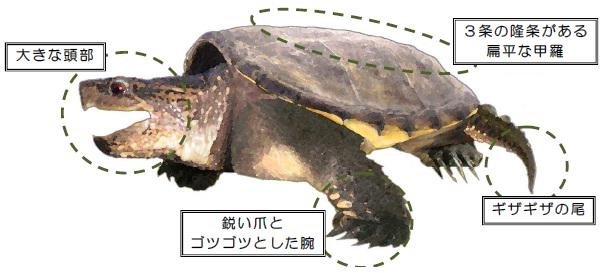 カミツキガメの画像 p1_15