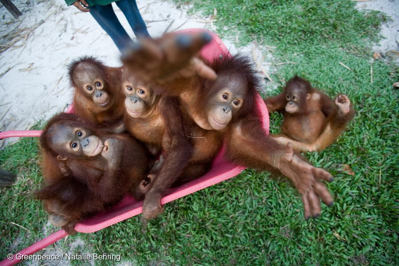 RT @Greenpeace: .@UNEP 75% of Borneo's forests will be lost by 2030.  For Orangutans it could mean extinction. http://t.co/ALfGMnKOUu http:…