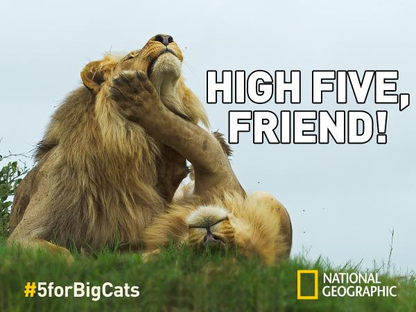Have you shared a virtual high-five yet to raise awareness for big cats? http://t.co/XlrncjdMZw  #5forBigCats http://t.co/gMcyjKi8xe