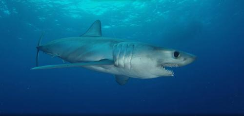 "Rare shark tagged near Cuba ""Phones Home"" near U.S. coast http://t.co/RLBu1X06yu http://t.co/fLxjwhjXUg"