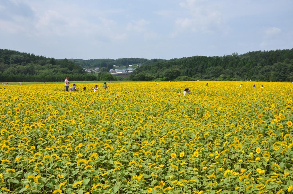 南郷の「山の楽校」のひまわり畑が見頃を迎えているそうです。ぜひ、出かけてみてください(写真は去年のものです。) #八戸 http://t.co/iaWUk7fmQx