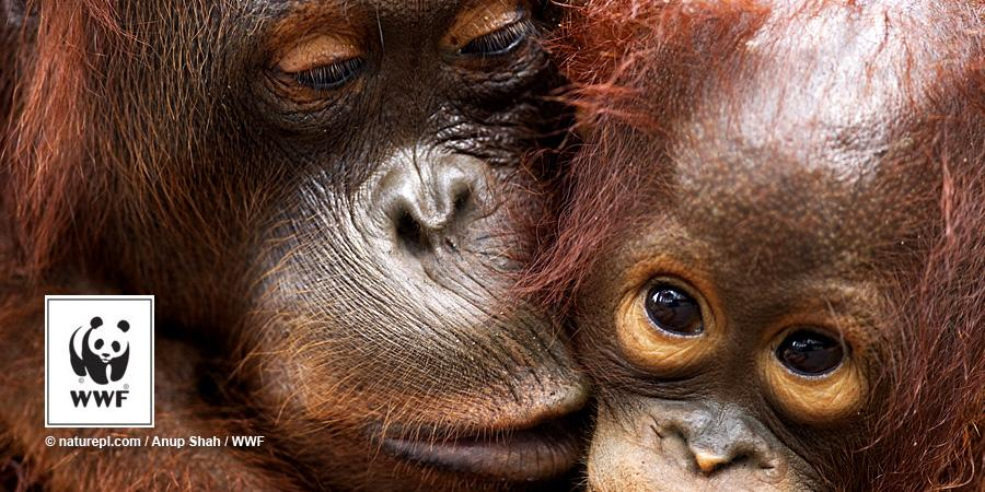 RT @WWF: Bornean #orangutans have declined by more than 50% over the past 60 years → http://t.co/zySqiGwqCl http://t.co/wV8OY2MTDt