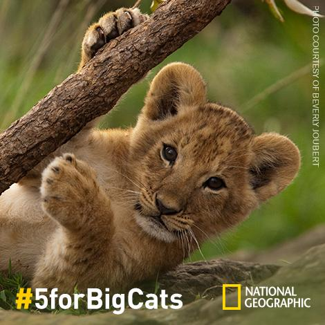 It's World Lion Day! Raise Awareness. Share high-five photos w/ #5forBigCats & Donate $5 via http://t.co/Es8CUAbT1W http://t.co/8rNyBV3E0b