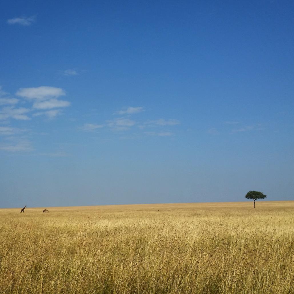 Giraffe seeks tree, #Kenya http://t.co/L83rOlOgUH