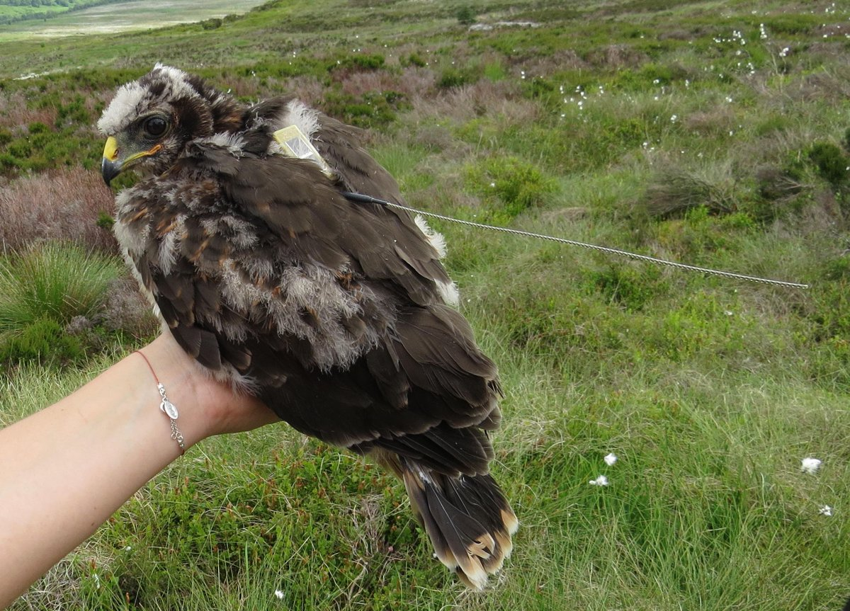 Post-mortem confirms hen harrier found dead on grouse moor was shot, we're appealing for info: http://t.co/qdIKvf0pmy http://t.co/flFGj5eaxR