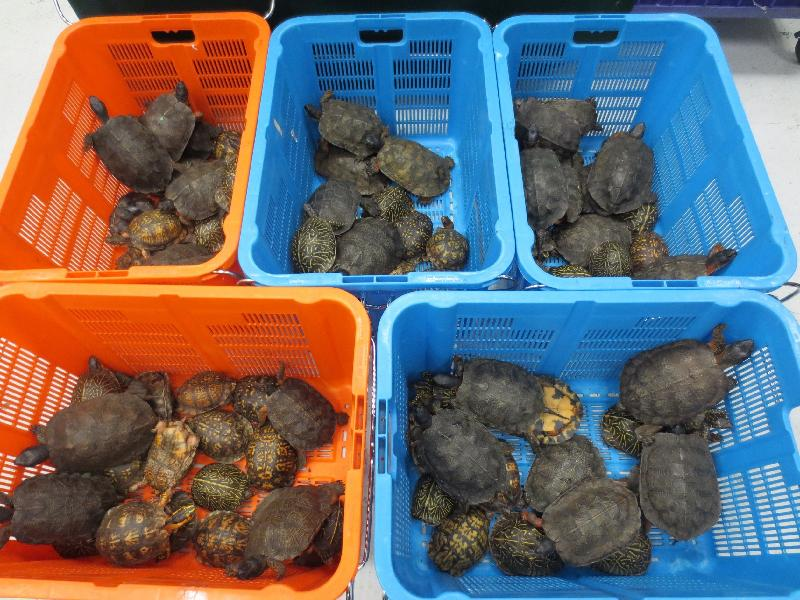 #HONGKONG customs detect 95 smuggled live turtles  http://t.co/Px11cw2KCq @WWF_WLCrime http://t.co/lE77TydqnK