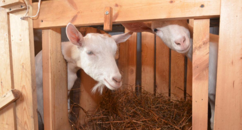 """Телеканал Дождь в Твиттере: """"Белоруссия запретила ввоз свиней и коз из некоторых регионов России http://t.co/qOSozF6YNF http://t"""