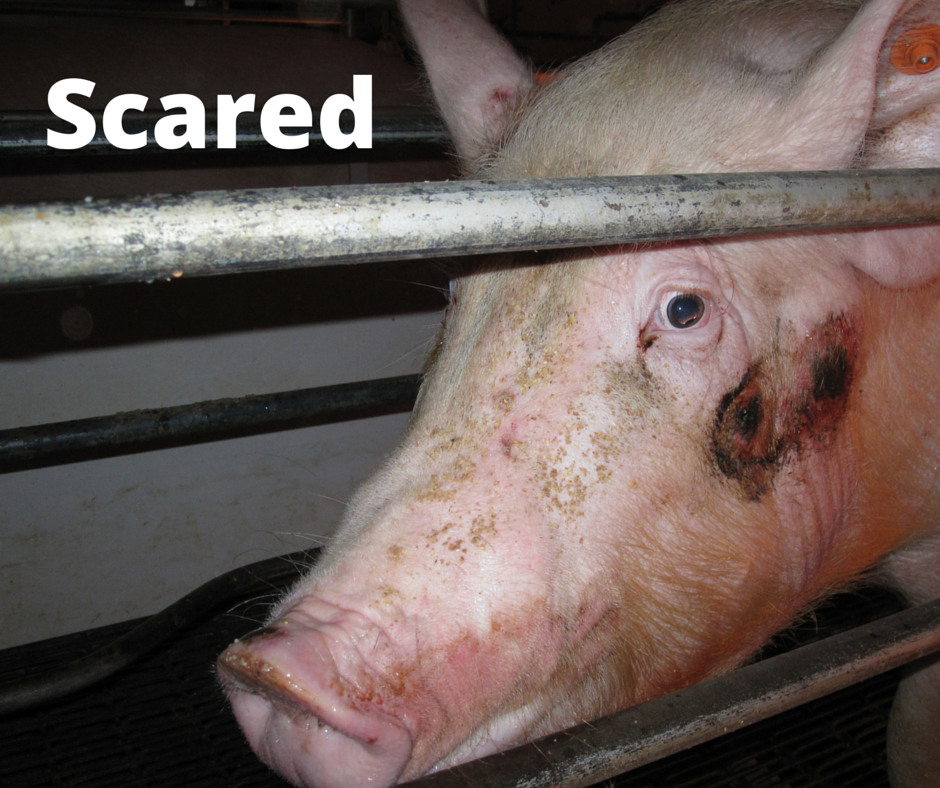 RT @MercyForAnimals: This is what it feels like to be a pig on a factory farm. PHOTOS: http://t.co/W2idK0hfEz http://t.co/xvlnW9lmqy