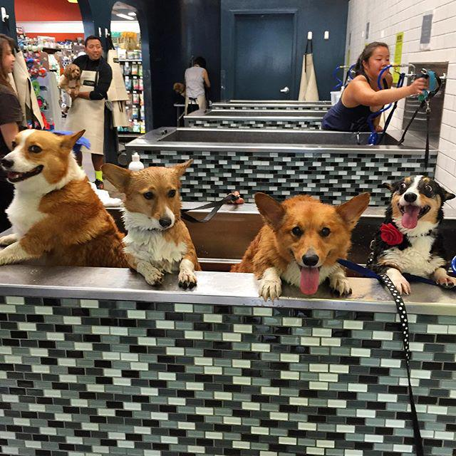 When your whole squad takes a spa day. #Corgi #SelfWashSelfie (Pic: Bailey) http://t.co/dJ5PVAMA7P