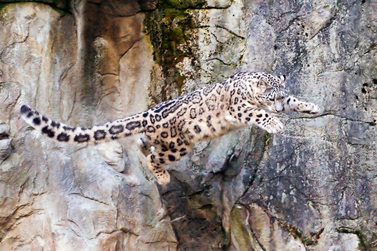 Snow leopards are amazing athletes! #wildlife #photography #snowleopard #cats http://t.co/xLGzqMHnTQ