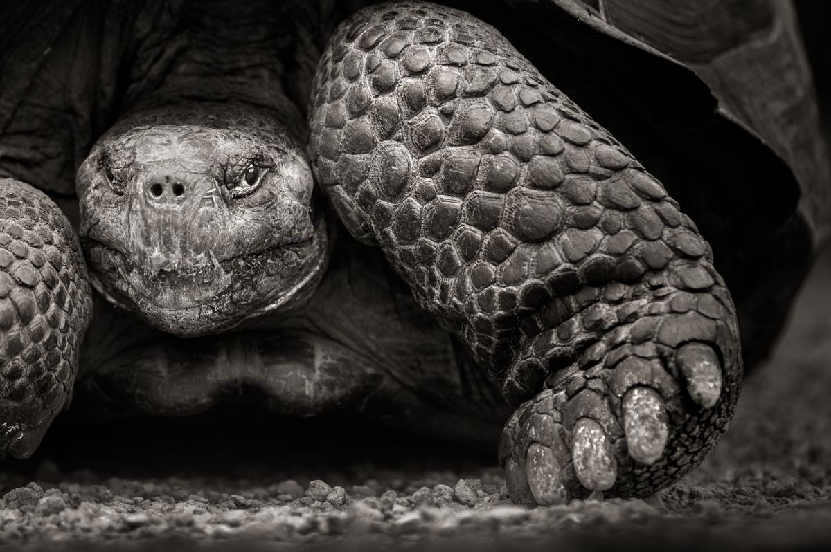 #picoftheday A 100-year-old (so only middle-aged) giant tortoise on the island of Isabela in the #Galapagos, #Ecuador http://t.co/qRHGeYnowI