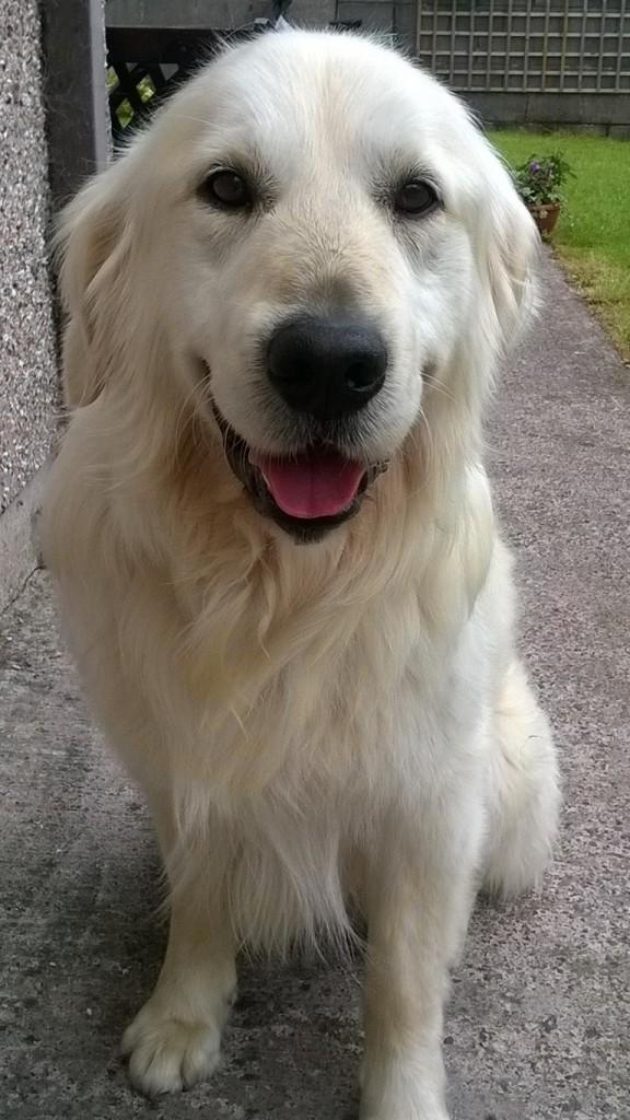 Meet Wilson, a handsome 7 year old golden retriever looking for a home.  Pls RT  http://t.co/1RKPWEPkHf http://t.co/hAYCgW9GGw