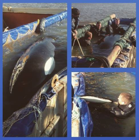 RT @oceanCRIES: MORE orcas captured in the Okhotsk Sea, #Russia—WHEN will it STOP? http://t.co/do1mVBF8yA via @WHALES_org  #Blackfish http:…