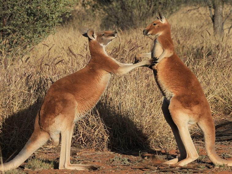 Beware of this kangaroo mafia: A group of kangaroos is called a mob! #