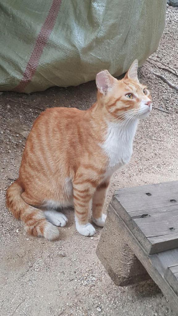 2주 전 선릉역 7번 출구 부근에서 니코를 보셨다는 분이 찍은 니코 사진입니다. 사람 좋아하는 길냥이 니코를 보신 분 없나요. 중성화 완료. 치즈냥. 꼬리끝뭉침. 오른쪽 귀 커팅. 길냥이 니코입니다. http://t.co/fJpkt2dT24