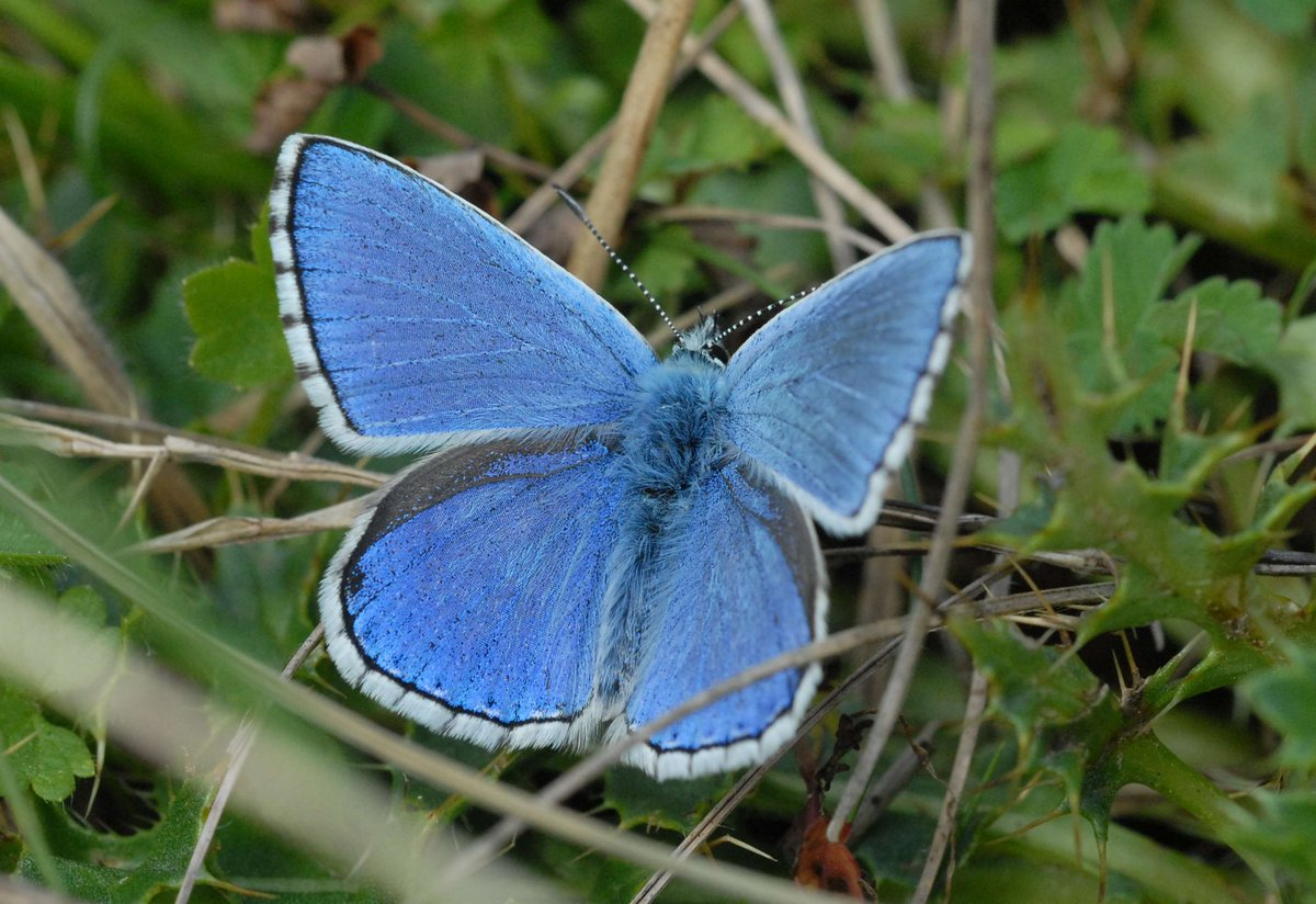A butterfly once extinct from the Cotswolds is making a comeback in Stroud: http://t.co/7L6lCNai6o @nationaltrust http://t.co/A4JqCYSYhD