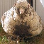 ◻️毛を剃られないまま放置された羊がヤバすぎると話題に…… 2015/09/02 20:14 http://t.co/JZ7c46iGbb ヤバくないよ!毛がフサフサ♡ http://t.co/5ByjptOart