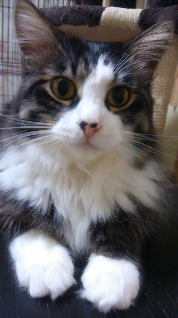 [拡散希望]どうしても引っ越ししなくてはならず、4匹いる猫ちゃんたちを飼ってくれる方をさがしてるそうです。白黒は男の子一歳後半。もう一匹は女の子、1歳半くらい。詳しいことはリプ下さい。 http://t.co/rIMAWKEG01