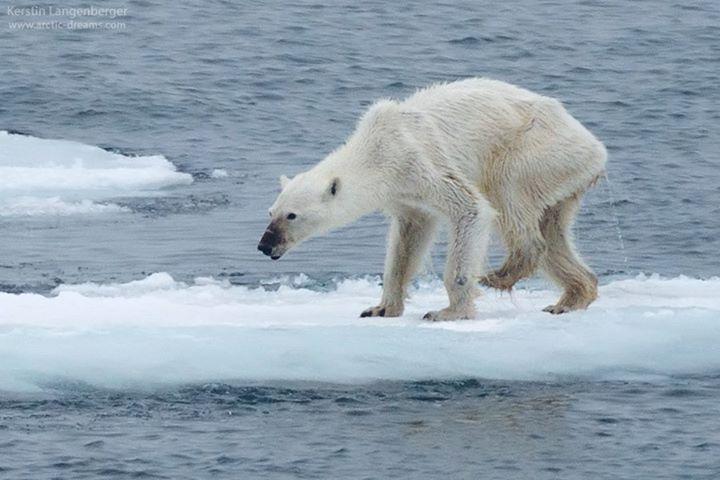 La foto que se VIRALIZÓ de la osa desnutrida en el Ártico. El #CambioClimático es AHORA. ¡RT! #SalvaElArtico http://t.co/tPRmd9bvJU