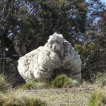 ???? TRULY EWE-NIQUE ????: A sheep in Australia is said to be in danger because it is too woolly http://t.co/oWsh4GoN5L http://t.co/eLjq2CaAUy