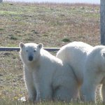 Polar bears besiege team of Arctic meteorologists working in Russias far north http://t.co/S6eGvZEFQm http://t.co/XYh13AeGgM