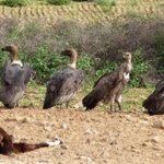 . @IUCN launches project to protect #vultures in #Pakistan   @TheNatureNews http://t.co/1NnXiElBPQ #Wildlife #thar http://t.co/xtdfrJAua8