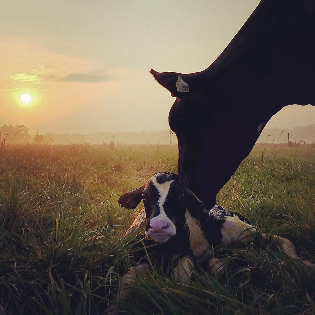 Good morning! Need a morning lift? How about a picture of a calf born 1 minute ago? #farm365 http://t.co/y9y32dQUS6