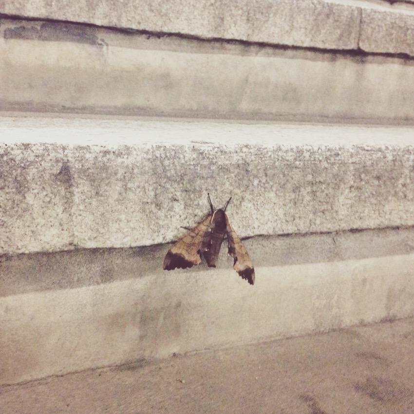 駅の階段に蛾がとまっていたので写真を撮っていたら、何をしているんだろうという感じで階段を上がってきたOL風な人と目が合ってなぜか「蛾です」と言ってしまったんだけど「でかいですね」と返してくれた。 http://t.co/HflkucE8bK